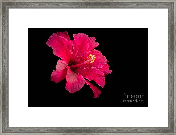 Floating  Hibiscus Framed Print