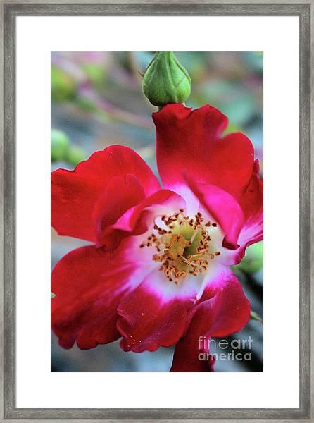 Flower Dance Framed Print