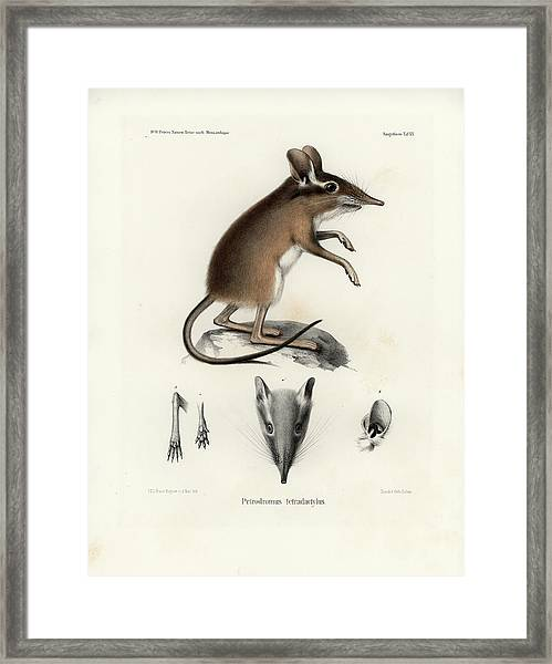 Framed Print featuring the drawing Four-toed Elephant Shrew by J D L Franz Wagner