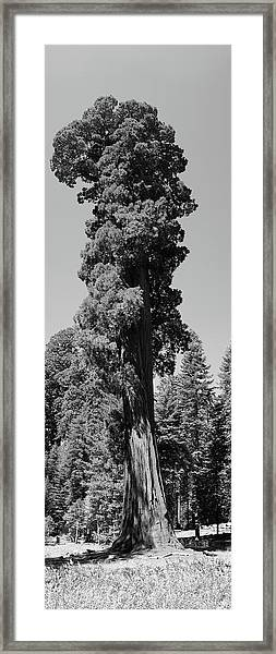 Giant Sequoia, Sequoia Np, Ca Framed Print