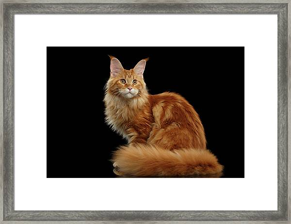 Ginger Maine Coon Cat Isolated On Black Background Framed Print