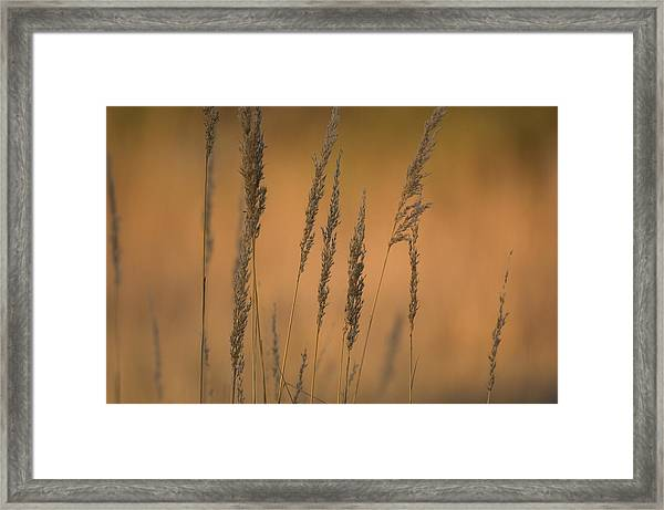 Grains Of Wheat In Rural Nebraska Framed Print