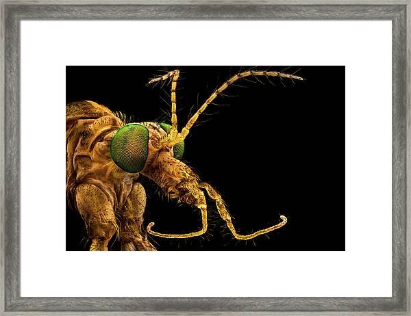 Green Eyed Crane Fly Framed Print