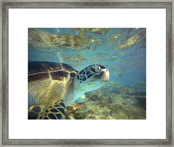 Green Sea Turtle Balicasag Island Framed Print