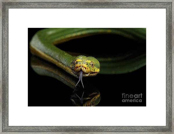 Green Tree Python. Morelia Viridis. Isolated Black Background Framed Print