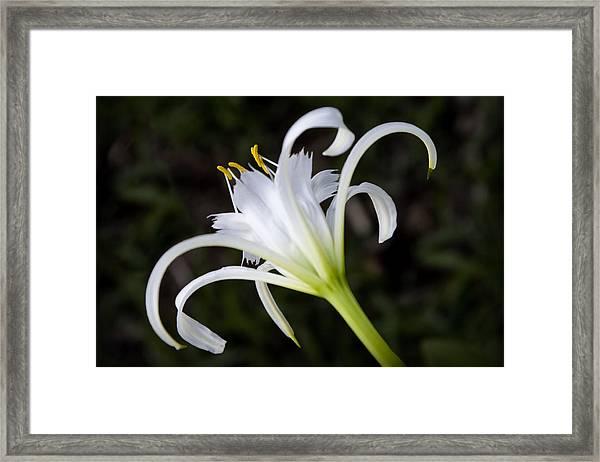 Hymenocallis Narcissiflora Framed Print
