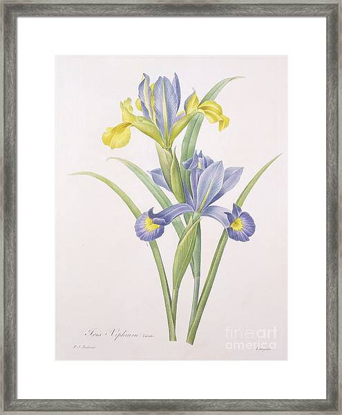 Iris Xiphium Framed Print