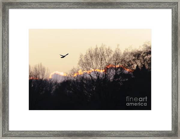 Kestrel Hunting At Sunset Framed Print