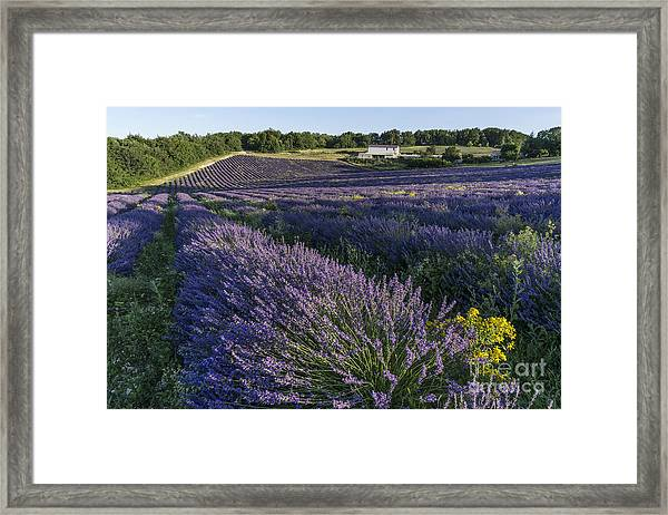 Framed Print featuring the photograph Lavender Field Provence  by Juergen Held