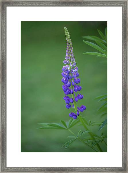 Graceful Lupine Framed Print