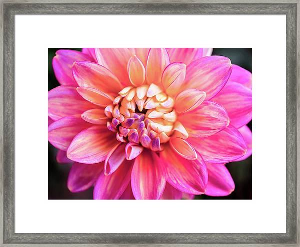Magenta Dahlia Framed Print