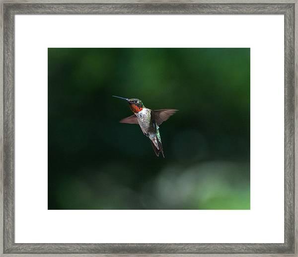 Male Ruby Throated Hummingbird Framed Print