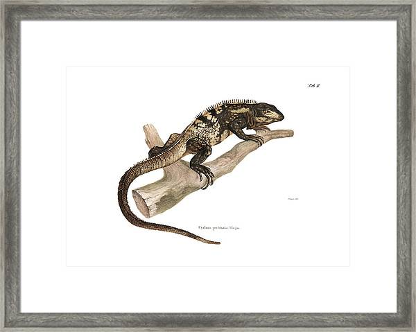 Framed Print featuring the drawing Mexican Spiny-tailed Iguana, Ctenosaura Pectinata by Elsasser