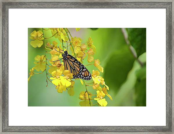 Monarch Butterfly On Yellow Orchids Framed Print