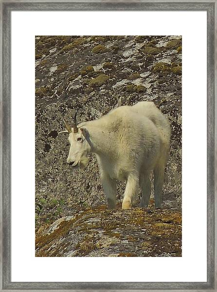 Mountain Goat Ewe Framed Print