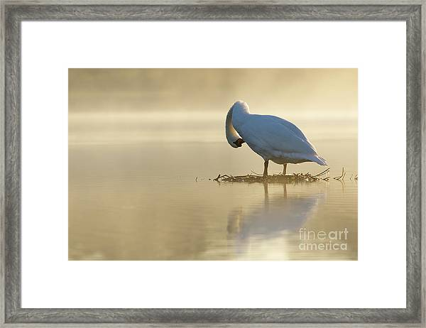 Mute Swan At Sunrise Framed Print