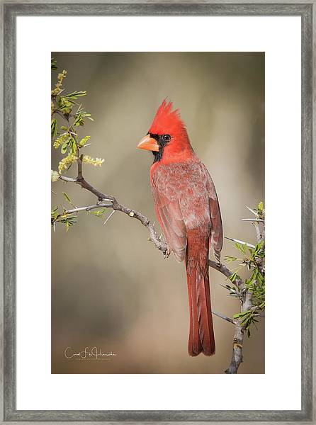 Northern Cardinal Cfh17765 Framed Print