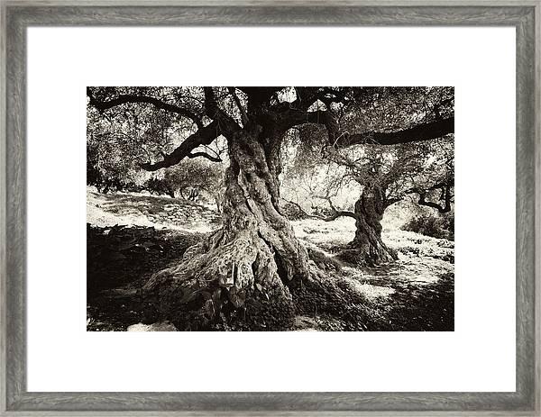 Old Olive Grove Framed Print
