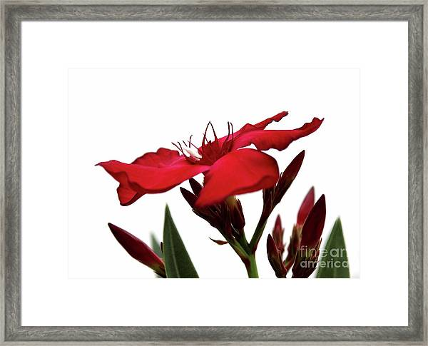 Oleander Blood-red Velvet 3 Framed Print