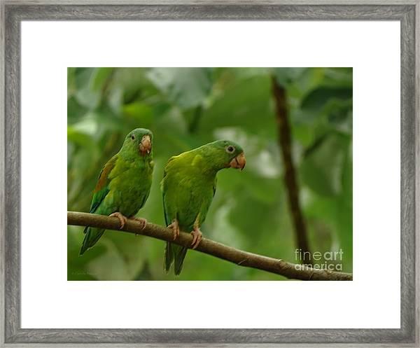Orange -chinned Parakeets  Framed Print