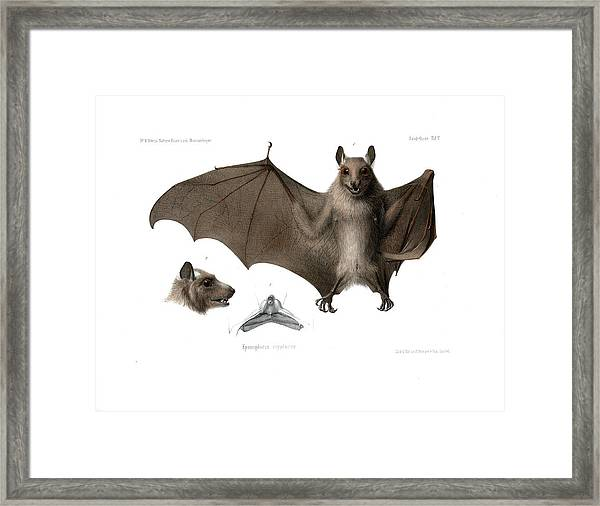 Framed Print featuring the drawing Peters's Epauletted Fruit Bat by Hugo Troschel