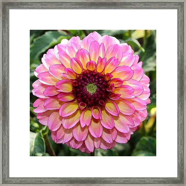 Pink Dahlia Framed Print
