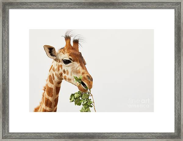 Portrait Of A Rothschild Giraffe  Framed Print