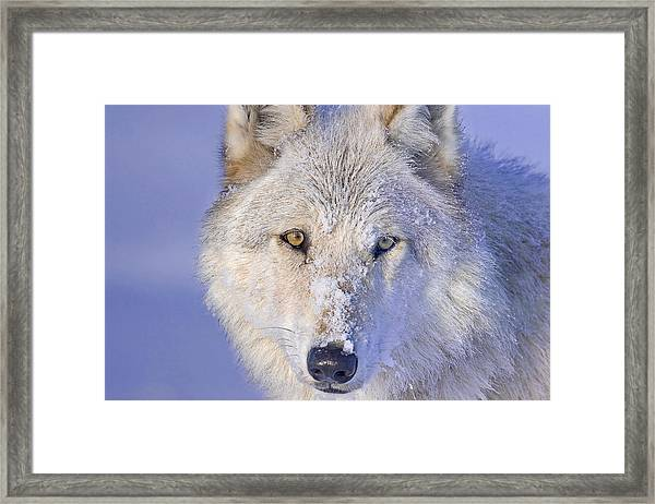 Portrait Of The White Wolf 540f Framed Print