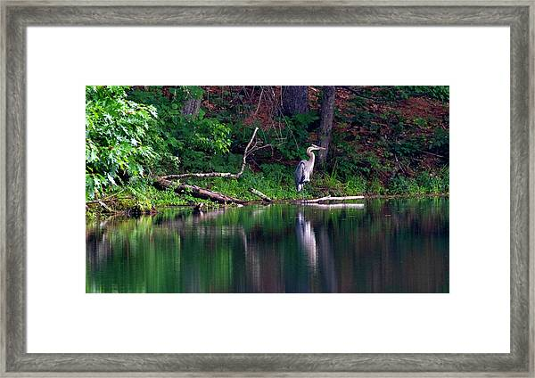 Posing Great Blue Heron  Framed Print