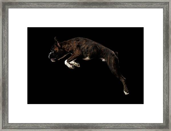 Purebred Boxer Dog Isolated On Black Background Framed Print