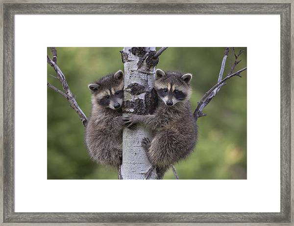 Raccoon Two Babies Climbing Tree North Framed Print