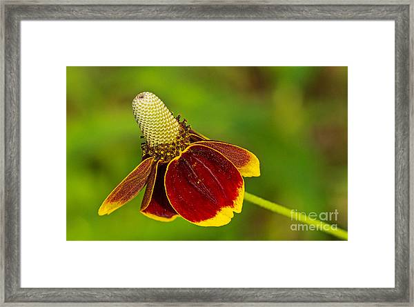 Ratibida Columnifera Framed Print