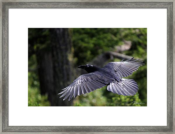Raven Flight Framed Print