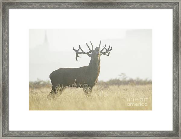 Red Deer Stag - Cervus Elaphus - Bellowing Or Roaring On A Misty M Framed Print