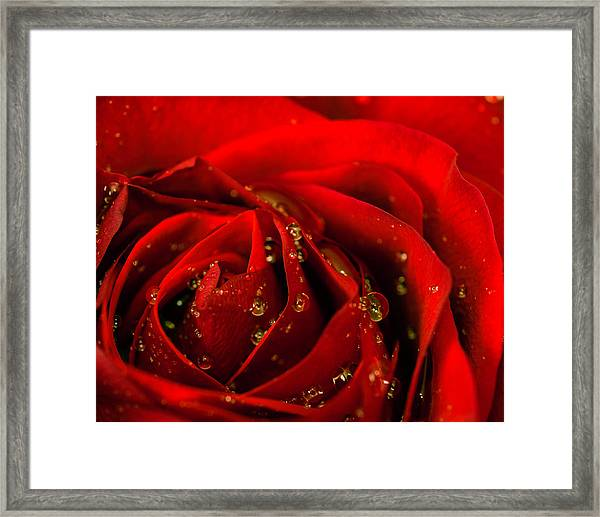Red Rose 2 Framed Print