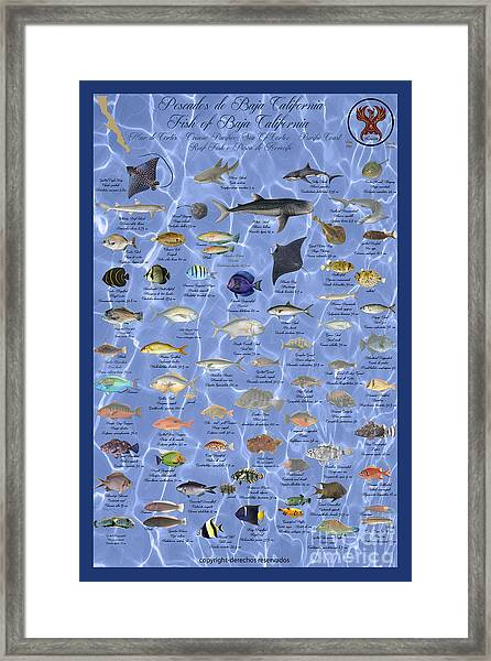 Reef Fish Of Baja Mex Framed Print