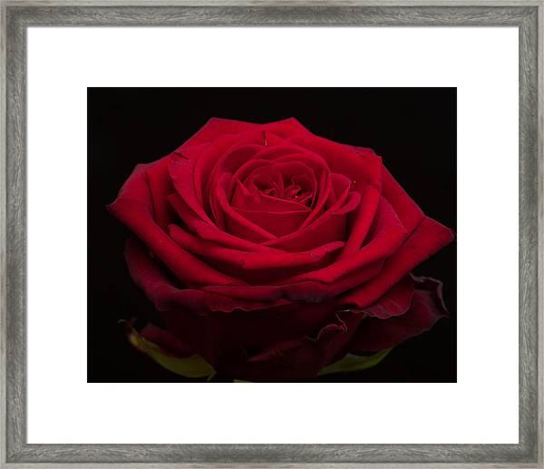 Roses Are Red Framed Print