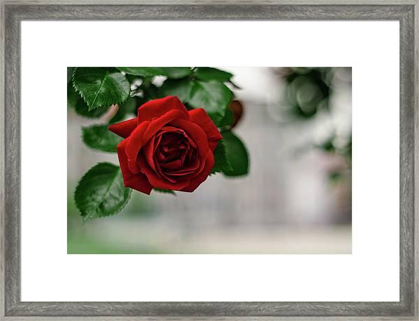 Roses In The City Park Framed Print