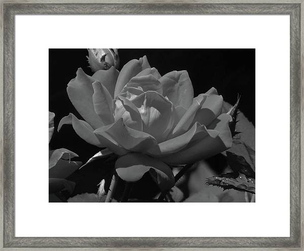 Rosey Bloom Framed Print