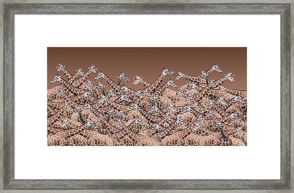 Sea Of Giraffes Framed Print
