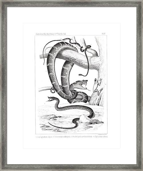 Framed Print featuring the drawing Snakes And Frogs Of Costa Rica by T Sinclair