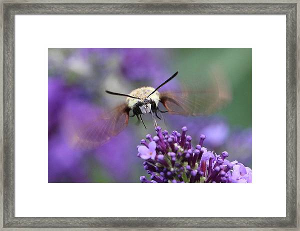 Snowberry Clearwing Moth Framed Print
