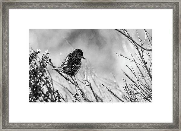 Snarky Sparrow, Black And White Framed Print