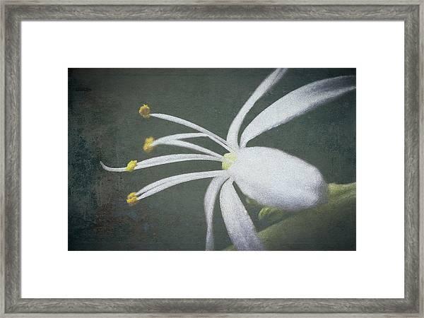 Spider Plant Flower II Framed Print