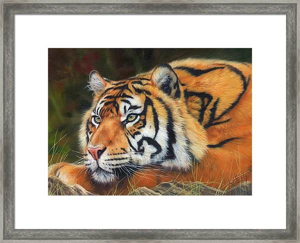 Sumatran Tiger  Framed Print