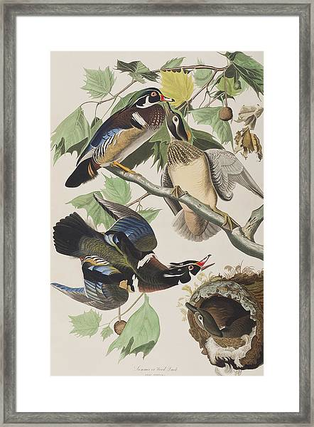 Summer Or Wood Duck Framed Print