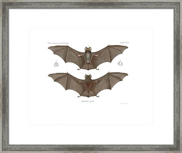 Framed Print featuring the drawing Sundevall's Roundleaf Bat by A Andorff