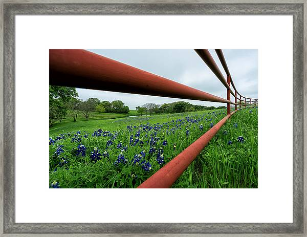 Texas Bluebonnets In Ennis Framed Print