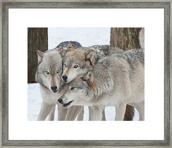 Three Wolves Are A Crowd Framed Print