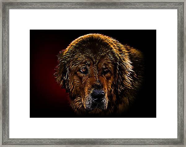 Tibetan Mastiff Framed Print